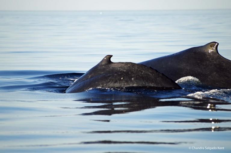 Humpback whale in Geographe Bay