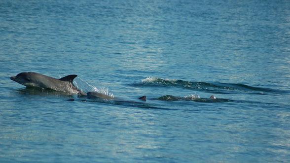 Indian Ocean Bottlenose Dolphin